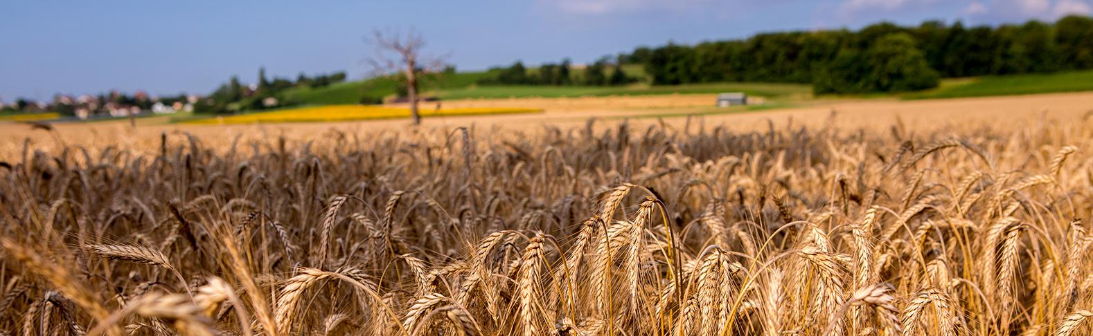 wheat-landscape_lt4c3357